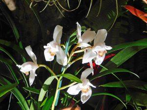 Orchidee-11