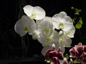 Orchidee-13