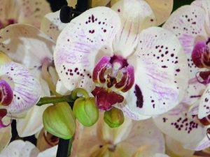 Orchidee-17