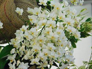 Orchidee-21