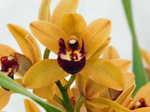Orchidee-23