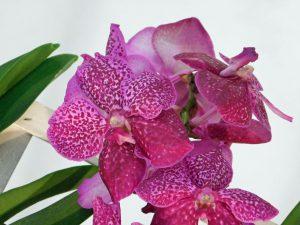 Orchidee-25