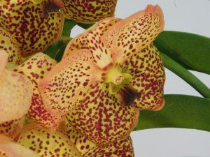 Orchidee-27