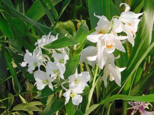 Orchidee-30