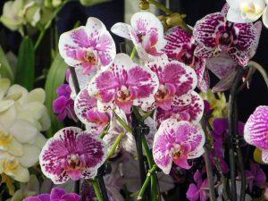 Orchidee-33