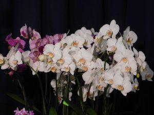 Orchidee-40