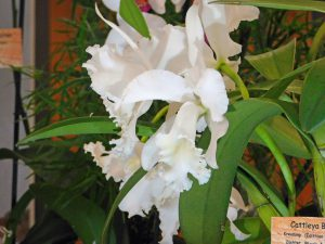 Orchidee-44