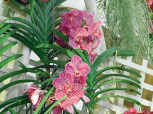Orchidee-6
