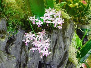 Orchidee-8